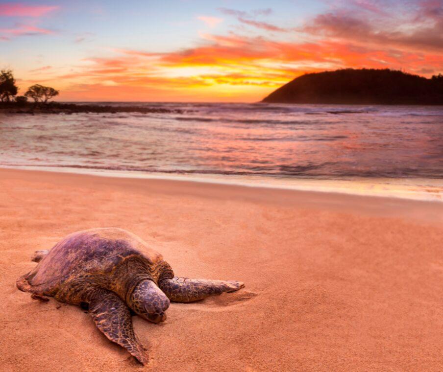 Sea Turtle on sand at sunset