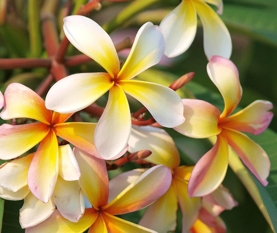 Kauai Pikake Flower