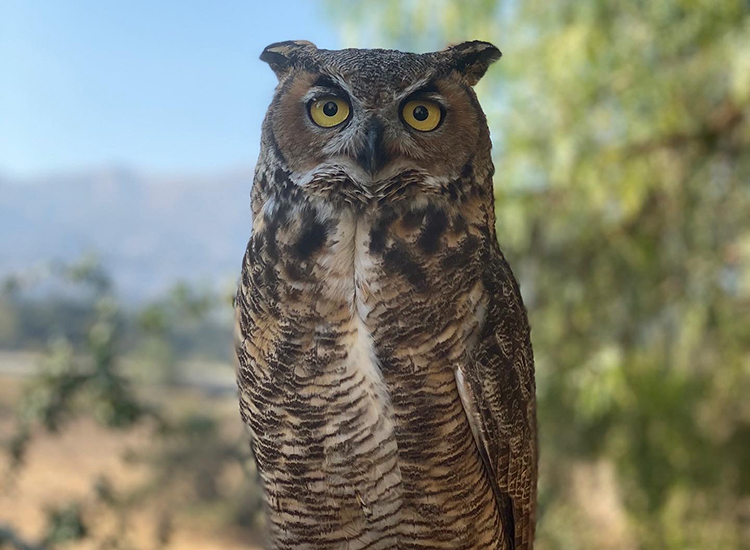 Ojai Raptor Center Demonstration